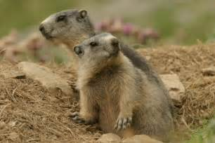 marmot alpine marmot information for kids