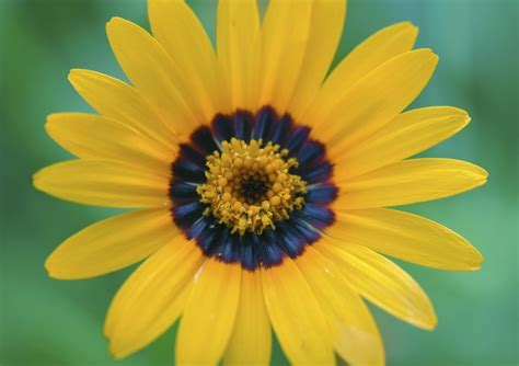 image for flowers flowers have secret blue halos that bumblebees can see