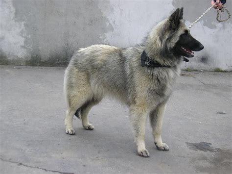 len berger photo belgian shepherd standard chien de berger