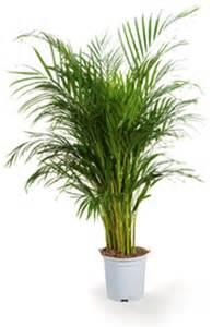 areca un palmier d int 233 rieur facile 224 vivre