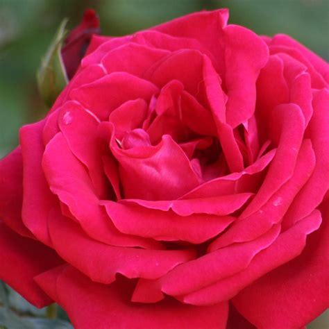 rosas rojas de amor cientos de imagenes