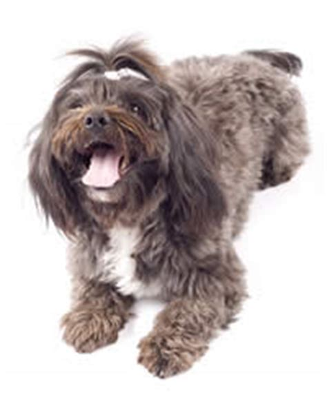 havanese origin havanese breed history temperament care more dogs and advice