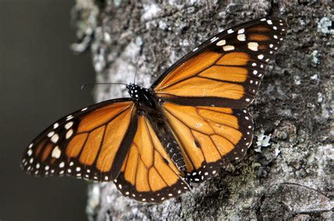 monarch butterfly u s mexico and canada are asked to protect monarch