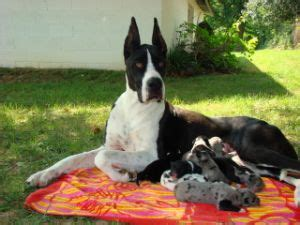 great dane puppies for sale in pa great dane puppies for sale