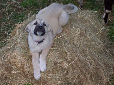 anatolian shepherd puppies for sale briar mtn farm and kennel akc registered anatolian shepherd puppies for sale in rocky