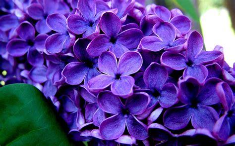 lilac lilacs auntie dogma s garden spot