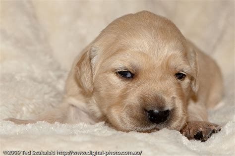 golden retriever puppies 1 week golden retriever puppy 2 weeks 2973