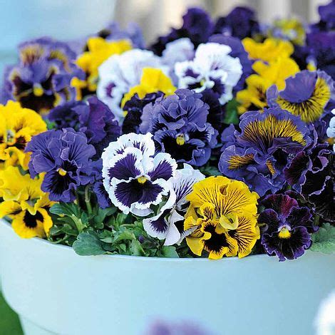 Mr Fothergills Pansy Frou Frou Mixed pansy frou frou mixed seeds thompson