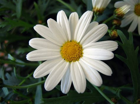 daisy flower marguerite daisy flowers photo 724870 fanpop
