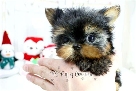 teacup pomeranian breeders ny new york teacup puppies for sale