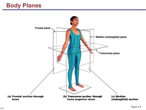 body orientation direction planes and sections the language of anatomy anatomical position and