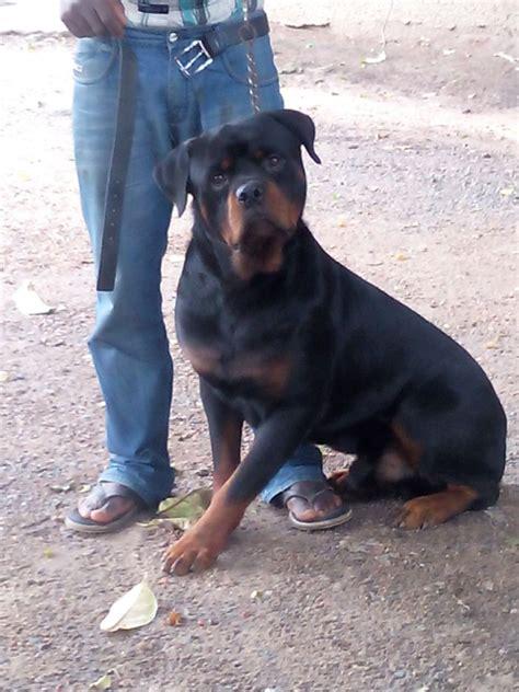 blockhead rottweiler pedigree boxhead rottweiler pets nigeria
