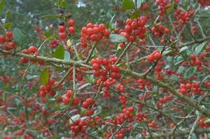 bushes with red berries search in pictures
