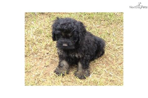 cockapoo puppies for sale in nc cockapoo puppy for sale near carolina 4a1e7a59 91d1