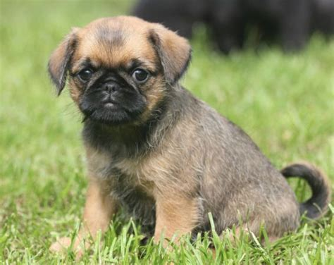 pug terrier mix pug and wire haired terrier pug mix