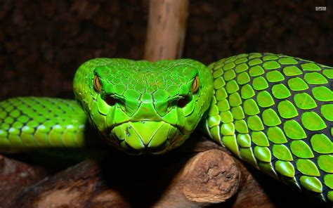 green and black viper green pit viper snake