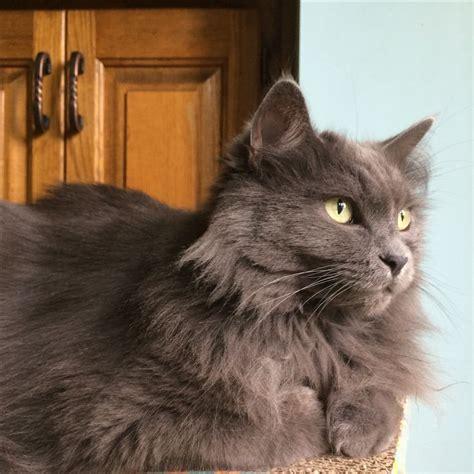 grey breeds grey cat breeds www pixshark images galleries with a bite