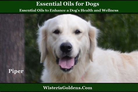 calming essential oils for dogs essential oils to enhance a s health and wellness wisteria goldens