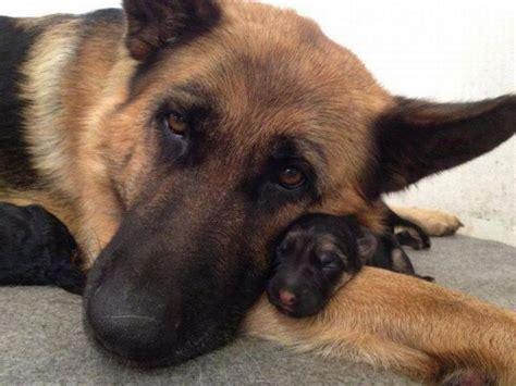 too cute german shepherd puppies too cute a community of german shepherd lovers