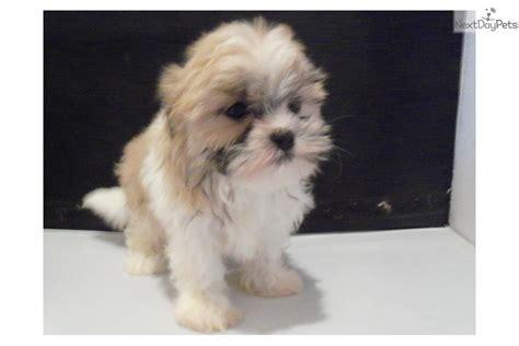 malshi puppy mal shi malshi puppy for sale near kansas city missouri 8020b31a 76a1