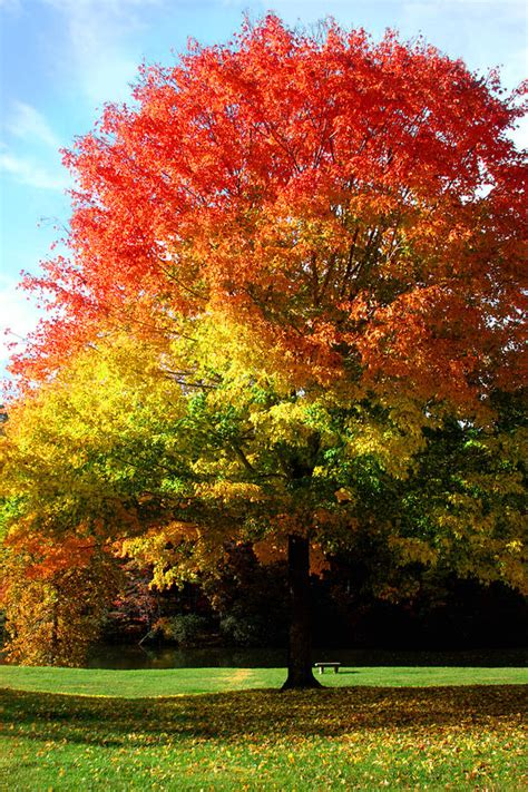 maple tree in autumn colors photograph by emanuel tanjala