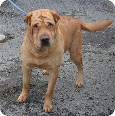 shar pei mixed with golden retriever images of ready for adoption shar pei golden retriever