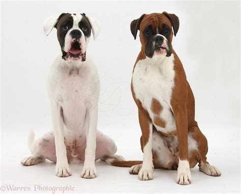 brown and white puppies 39 beautiful boxer pictures and images