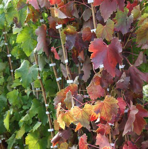 potatura vite da tavola giardinaggio coltivare la vite e l uva da tavola