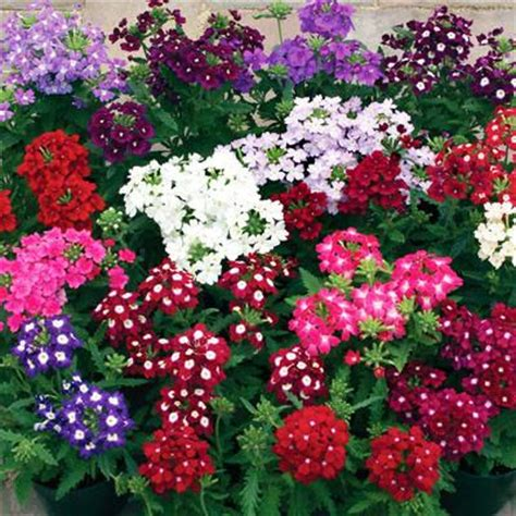 verbena obsession mix harris seeds