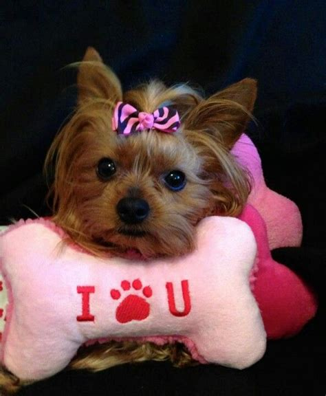 my baby yorkie paws 17 best images about yorkies on terrier yorkie and doggies