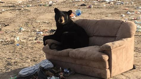 where can i dump a couch woman snaps pic of bear lounging at dump ctv news winnipeg