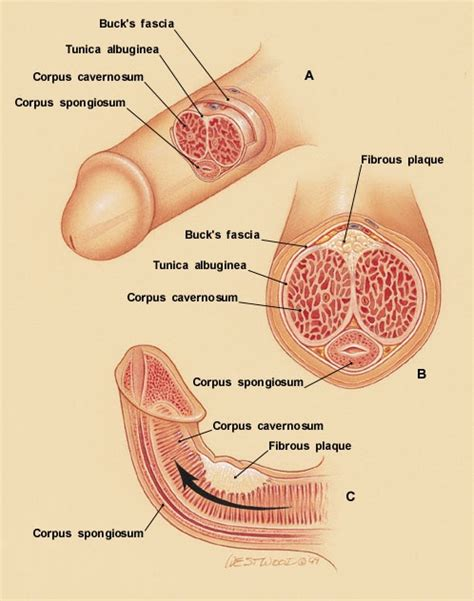 cross section penis penis cross section usmle step 1 pinterest