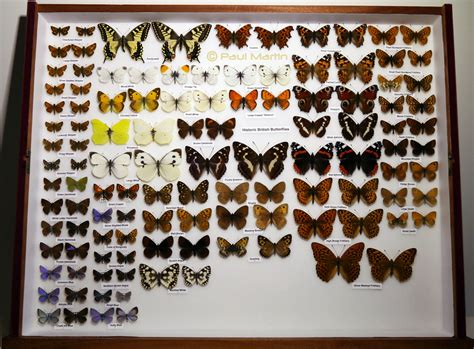 collection of collection historic butterflies