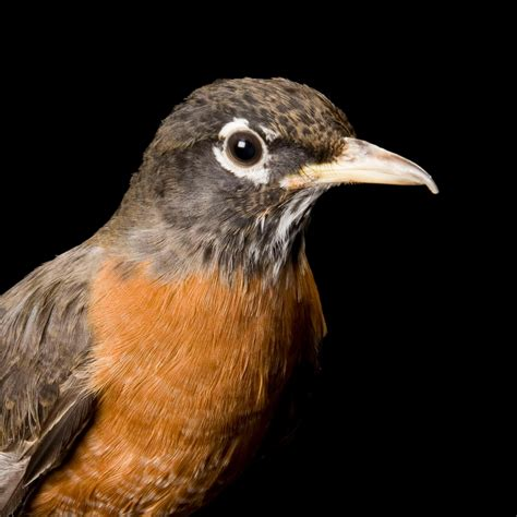 american robin national geographic