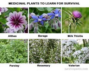 Palmetto Flowers - top 30 medicinal plants to learn for survival survivopedia