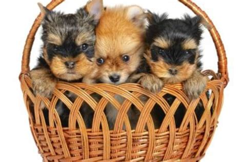 taking care of a pomeranian how to take care of a pomeranian yorkie mix with pictures ehow