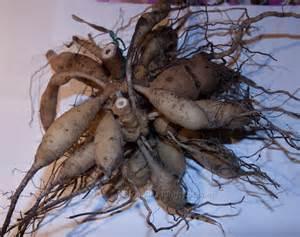 olga s garden blog storing dahlia tubers