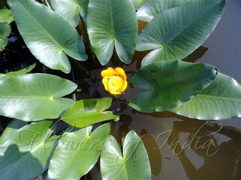 garden flowers of india nuphar lutea yellow pond