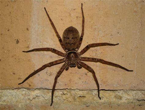 sw spider house spiders at spiderzrule the best site in the world about spiders redbacks huntsmen