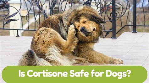 cortisone for dogs is cortisone safe for dogs smart owners