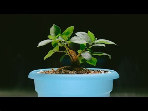 ginseng ficus microcarpa indoor bonsai ground layer