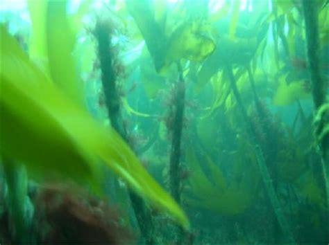 kelp bed kelp bed 28 images kelp bed nature pinterest kelp bed