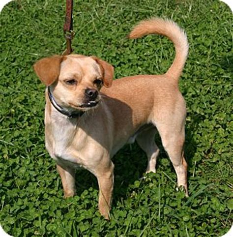 pugs in maryland waldorf md pug chihuahua mix meet benji a for