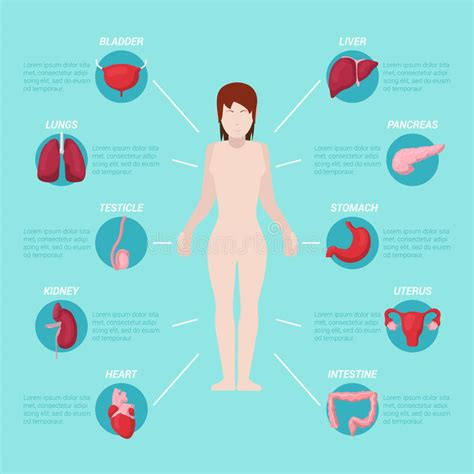 anatomia corpo umano organi interni schema medico di anatomia corpo umano con gli organi