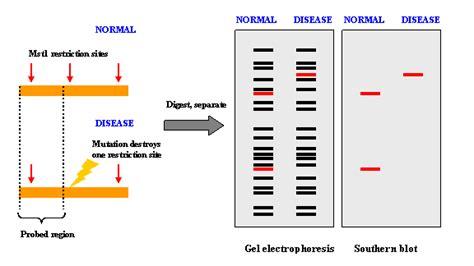 restriction pattern analysis genes restriction fragment length polymorphism rflp