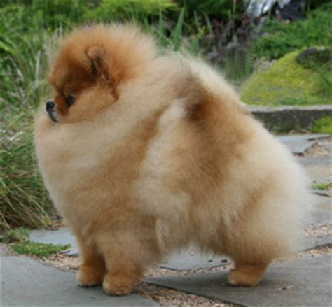 chriscendo pomeranians dedicated to promoting and preserving the breed through responsible ownership