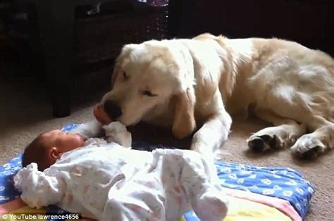 golden retriever protects baby pooches reporting for baby duty these loyal guard dogs as they protect their