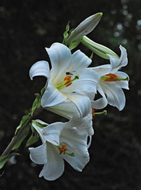 in vendita a madonna di ciglio 5 giglio di sant antonio bulbo fiore recisione bulbi fiori