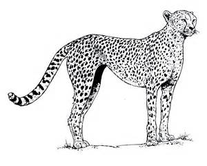 cheetah coloring pages free coloring pages of cheetah
