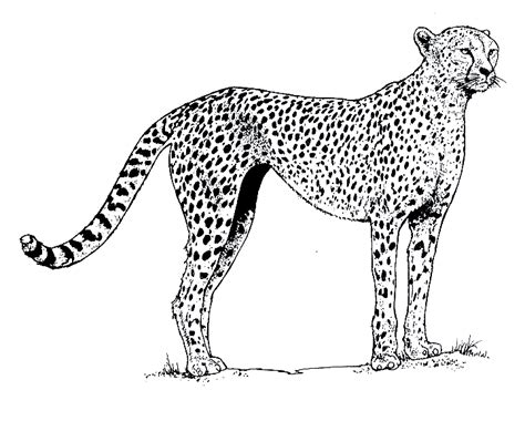Realistic Cheetah Coloring Pages by Realistic Cheetah Coloring Pages Coloringstar